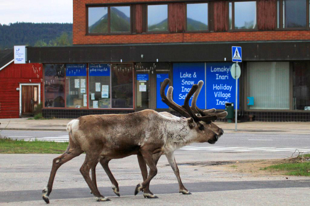 В Финляндии олени ходят по улицам маленьких городов.